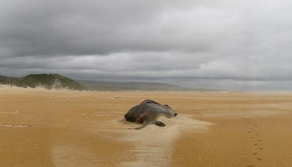 Dead whale in Wilderness near Strahan